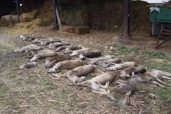 Muscă megúszta az állatmészárlást