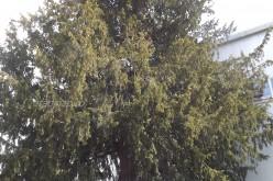 Köszöni szépen, jól van Borosjenőben a 600 éves tiszafa