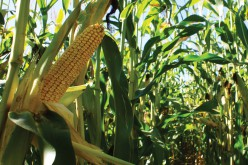 Agyonvágja a forróság a kukoricát és a napraforgót