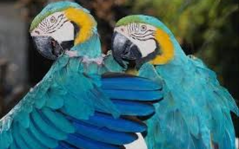 Sz.Benedek István: A papagájok nyelve