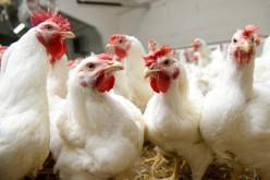 Madárinfluenza: betiltották az élőszárnyas-kereskedelmet
