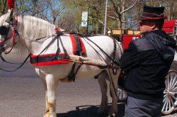 Jön a lovaskocsis városnézés: de ki takarítja a lócitromot?