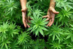 Drónnal felügyelték a Nagyiratos melletti cannabis-ültetvényt