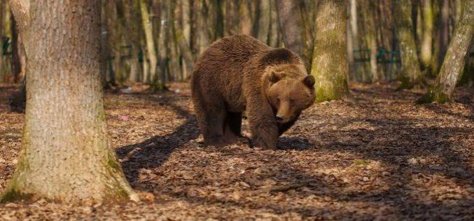 Vadászmese: összetévesztette a vaddisznót a medvével