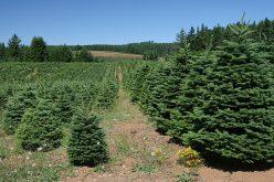 Arad éllovas volt az ünnepi illegális fenyőfa-kivágásban