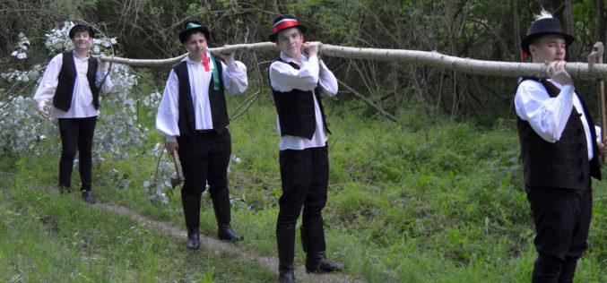 Pécskai fiatalok Májusfákat állítottak