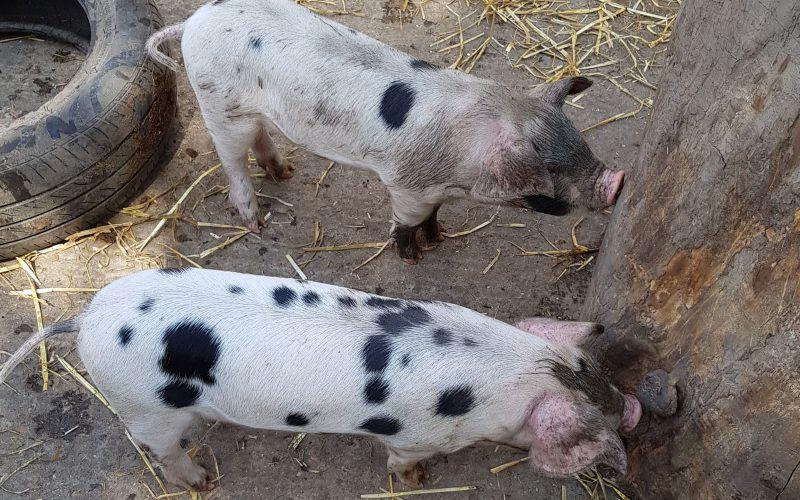 Az egészséges sertéseket is kényszervágják Arad megyében?