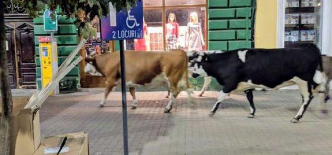 Három tehén és egy szamár Mosócztól sétált a nagyszínházig
