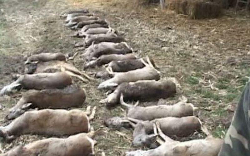 Mérgezett vadállatok tucatjai Pécska és Nagypereg határában