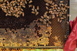 Mezőgazdasági vegyszerek tizedelik a méhcsaládokat
