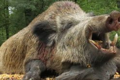 Sertéspestis: Németszentpéteren kilövik a teljes vaddisznó-állományt