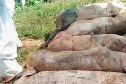 Újabb Arad megyei faluban ölik le az összes sertést