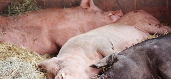 Megállíthatatlan a sertéspestis a megyében: már 2770 állat került kényszervágásra